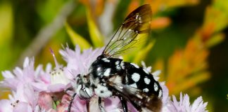A black Domino Cuckoo Bee with a distinctive spotted pattern of white hairs on the head, thorax, abdomen, and legs.