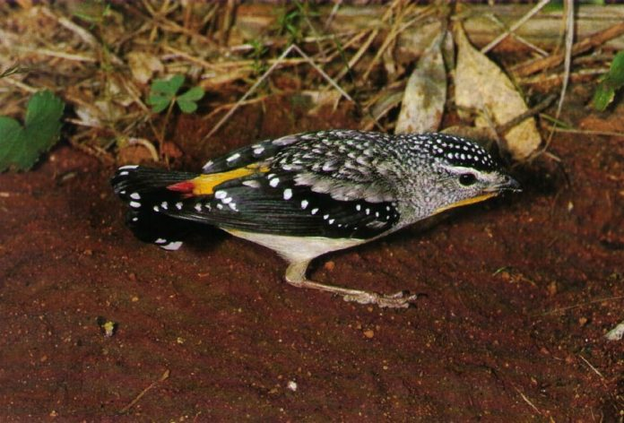 Spotted pardalote (Pardalotus punctatus) is one of most colorful and smallest birds in Australia, just 3.1 to 3.9in length & weighing 6 grams