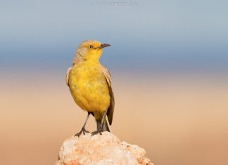 Among Australian chats, Gibberbirds are also complete ground dwellers, feeding, roosting, and nesting there.