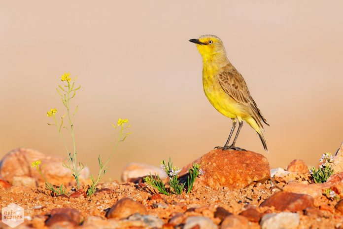 Gibberbird is unique among chats birds. It is a beautiful Australian bird, performed during the breeding season, probably by the male.
