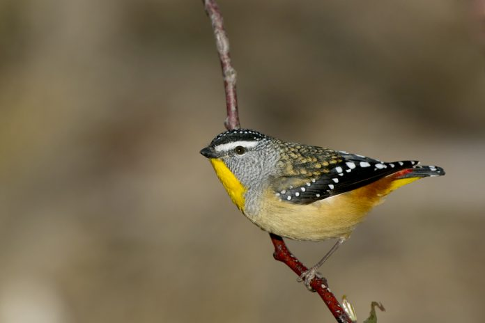 This is a tiny white Jewel-like spot that adorns the crown, wings, and tail of the male Spotted Pardalote and the wings and tail of the female