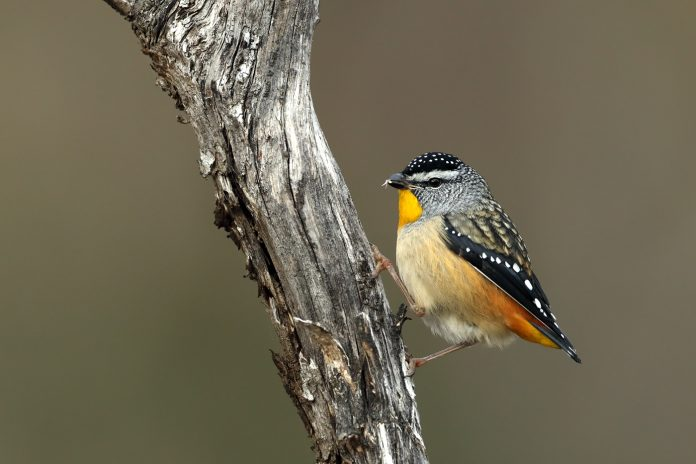 On the high tablelands in northeastern Queensland is a third smaller race, its males blending the russet rumps of the wet forest race with the greyer, more finely spotted back of the mallee form.