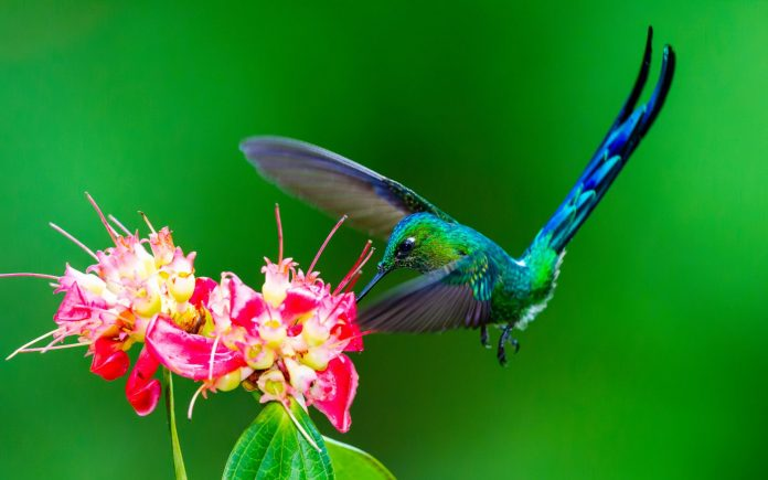 Long-tailed Sylph mainly relies on feeds on nectar, spiders, insects caught in flight or perch, and high sugar flowers.