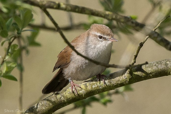 The Cetti's Warbler song commences with an introductory explosive 'tchi' or 'chuit' that is followed immediately by a rapid series of 'chuee' or 'piti' notes, habitually between 6 and 15.