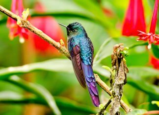 Bogota Sunangel has a dark bluish-black plumage, shading to greenish-blue on the lower back and rump, and an iridescent green throat and forehead patch.