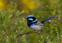 Its vibrant colors have made the Superb Fairy-wren one of the most popular and familiar of Australia's birds.