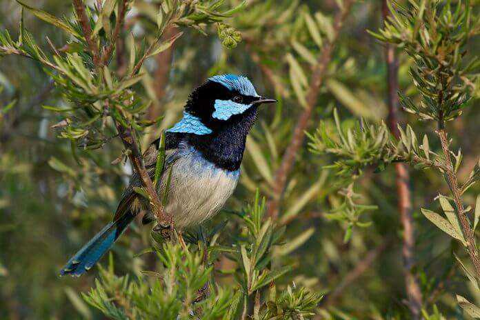 These Fairy-wrens are socially monogamous and sexually promiscuous.