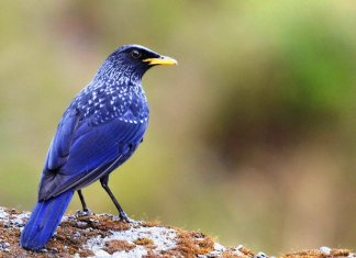 The Blue whistling thrush is famous for its loud human-like whistling song in the early morning and evening.